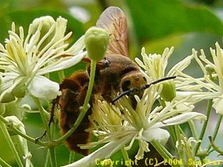 アカアシハラナガツチバチ
