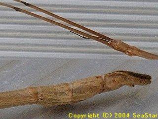 アマミナナフシ頭部と腹部