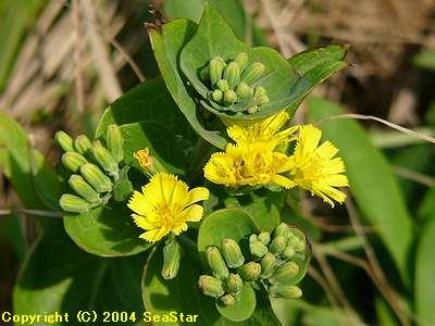 ホソバワダンの花