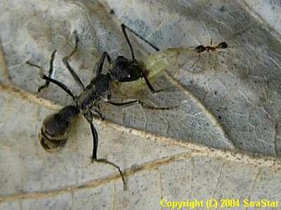トゲオオハリアリとヒメアリの一種