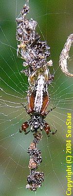 ミナミノシマゴミグモ
