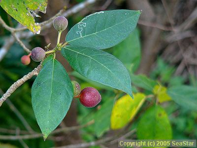 ホソバムクイヌビワの果実