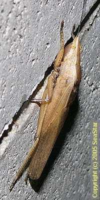 クビキリギリス