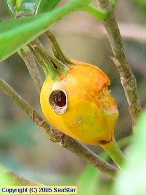 クチナシの果実