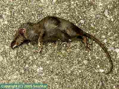 ジャコウネズミの画像 p1_18