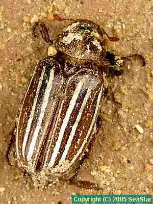 0509polyphylla_schoenfeldti02