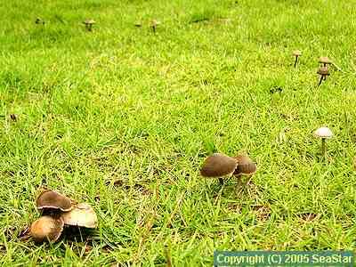 キノコの一種,環状列菌