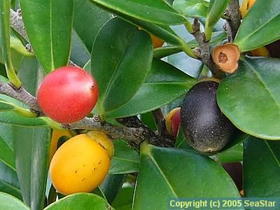 ヤエヤマコクタン(クロキ)の果実