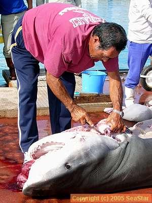 サメの解体