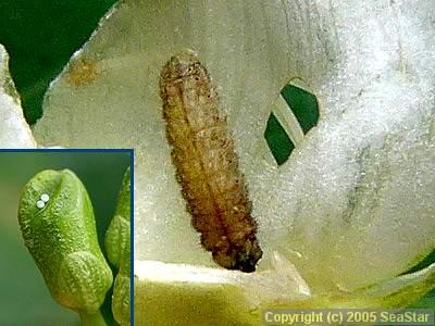 ウラナミシジミの幼虫と卵
