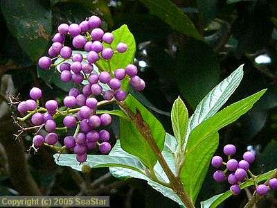 オオムラサキシキブの果実