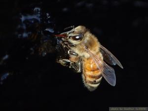 セイヨウミツバチ,岩礁で吸水