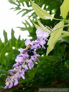 フジの花とクマバチ