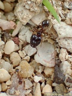 ツヤオオズアリ,兵蟻と働き蟻