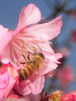 カンヒザクラを訪れるセイヨウミツバチ