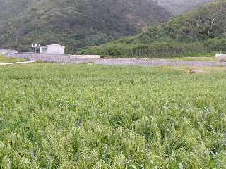 渡名喜特産もちきびの畑