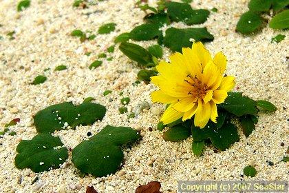 ハマニガナの花