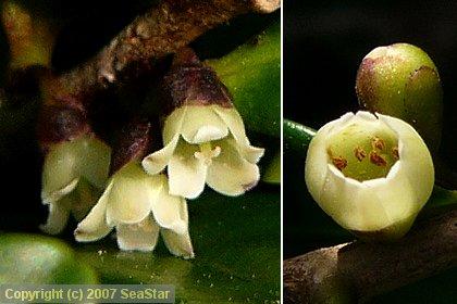 ハマヒサカキ雄花と雌花