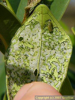 ノメイガ亜科?幼虫の食痕