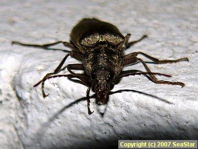 アマミヒゲコメツキ雌