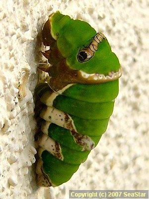 シロオビアゲハ前蛹
