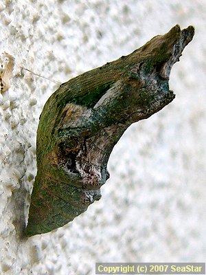 シロオビアゲハ蛹