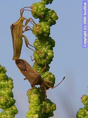 ホソハリカメムシの交尾