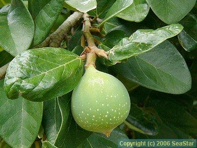 オオイタビの果嚢
