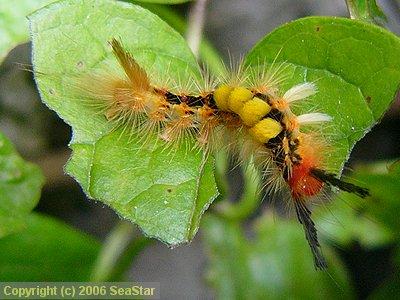 コシロモンドクガの幼虫