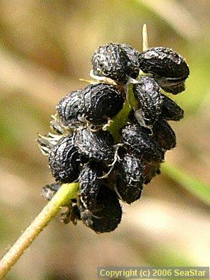 コメツブウマゴヤシの果実