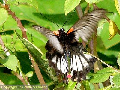 ナガサキアゲハの雌