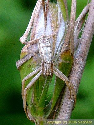 トガリシロスジグモ