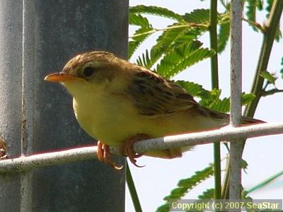 セッカの若鳥