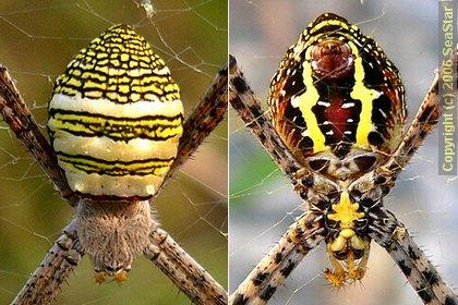 ナガマルコガネグモ背面及び腹面