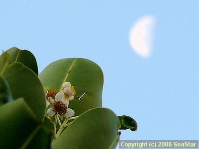 テリハボクの花と下弦の月