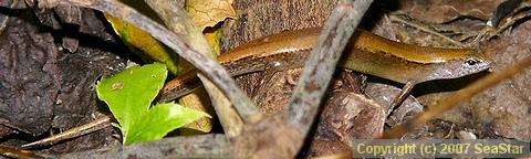 ヘリグロヒメトカゲ