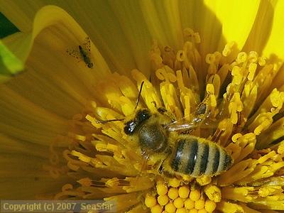 セイヨウミツバチとセンダングサミバエ