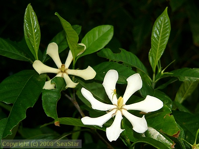 7枚花弁のクチナシの花