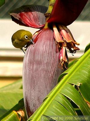 バナナの蜜を舐めるメジロ