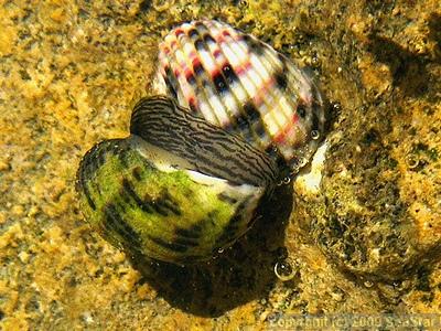 イシダタミアマオブネ近似種の交尾
