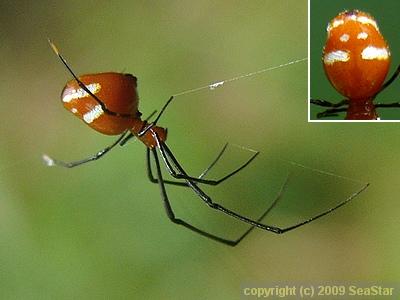 ミナミノアカイソウロウグモ