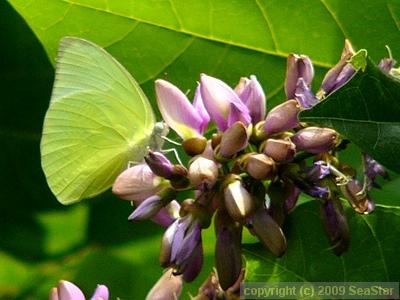 クロヨナを訪花するウスキシロチョウ