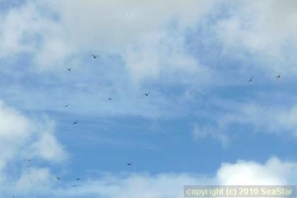 ウスバキトンボの群飛