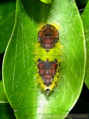 スキバドクガ蛹