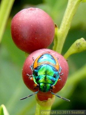 ミヤコキンカメムシ幼虫