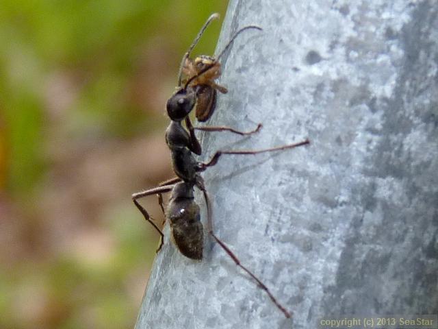 トゲオオハリアリ,クモを運搬