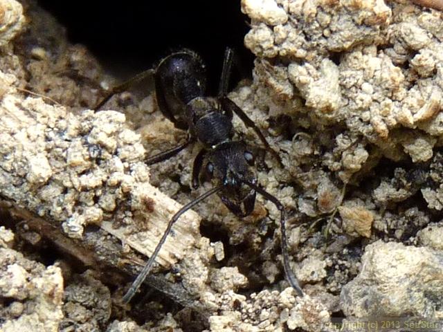 トゲオオハリアリ,巣穴で見張り