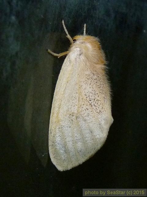 スキバドクガ,雌個体