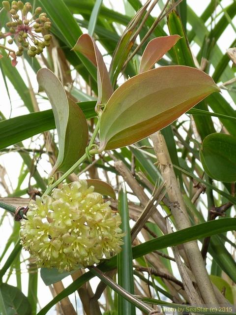 ハマサルトリイバラ,花序と葉裏