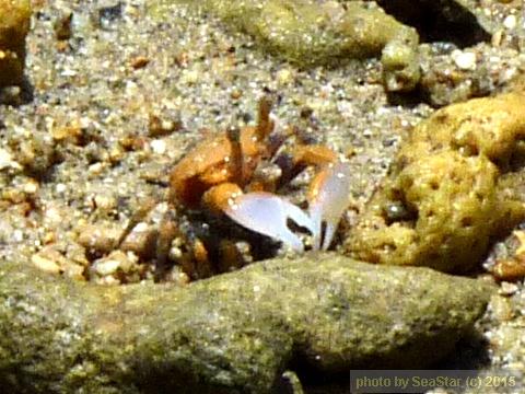 ツノメチゴガニ,赤っぽい個体